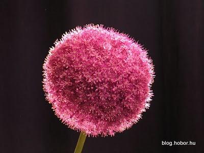 Onion Flower, BUDAPEST, Hungary