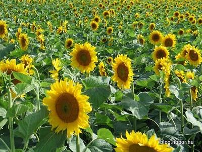 Sunflower, Near KISOROSZI, Hungary