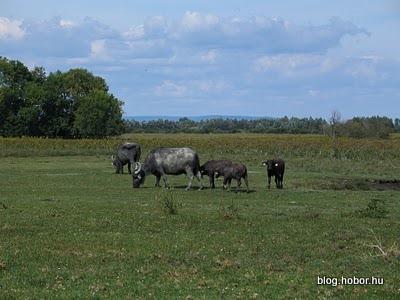 Buffalo Reserve, KÁPOLNAPUSZTA, Hungary